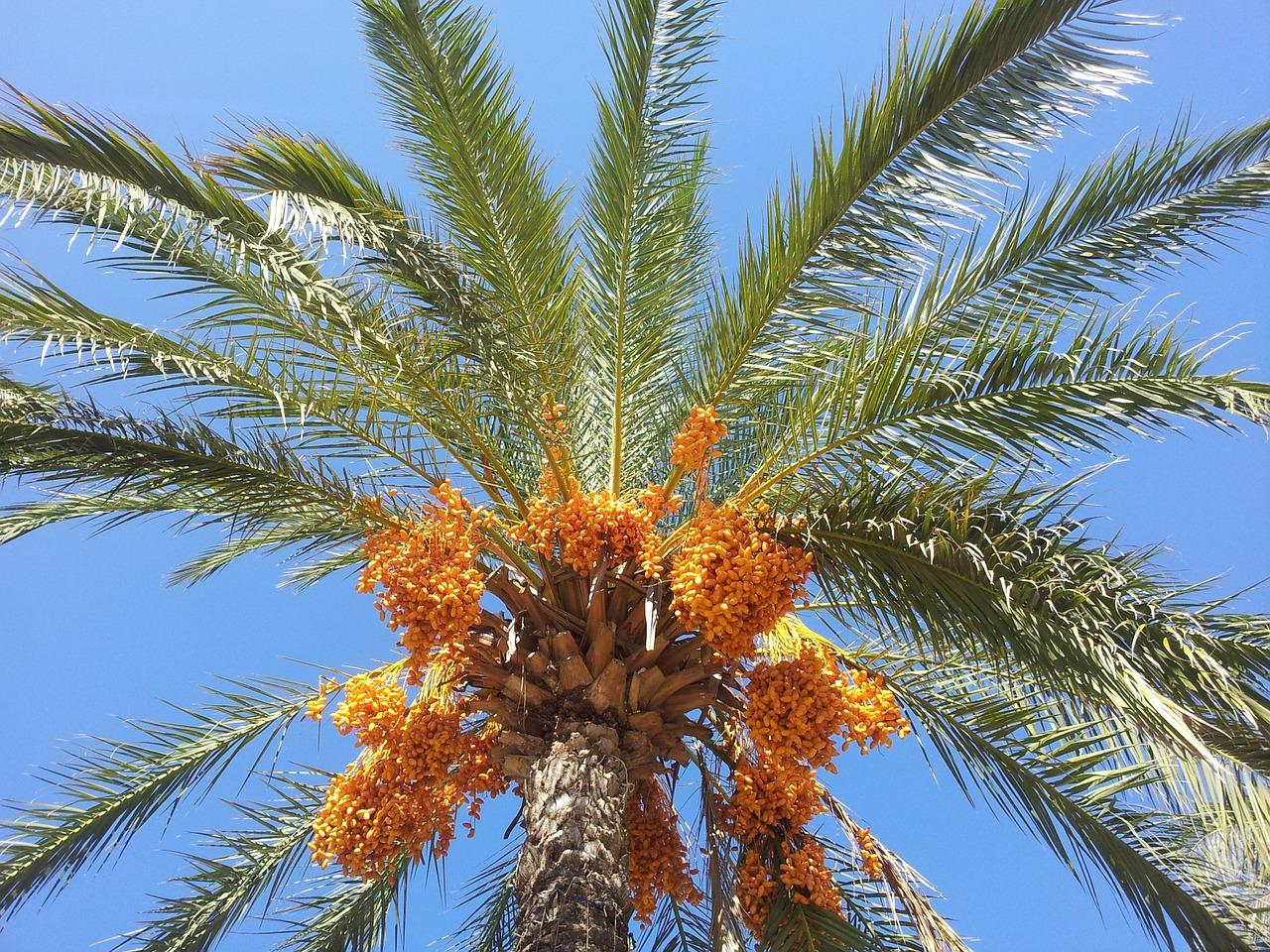 La datilera es una palmera del desierto