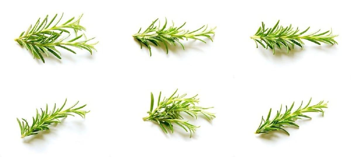 diferentes ramas de romero blanco