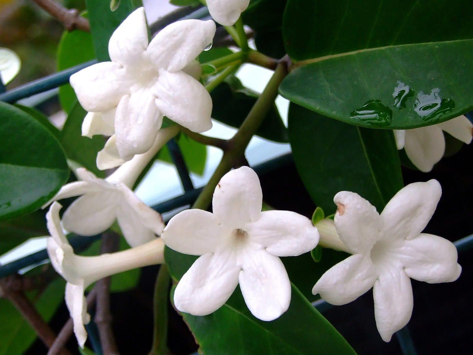 Vista del estefanotis en flor