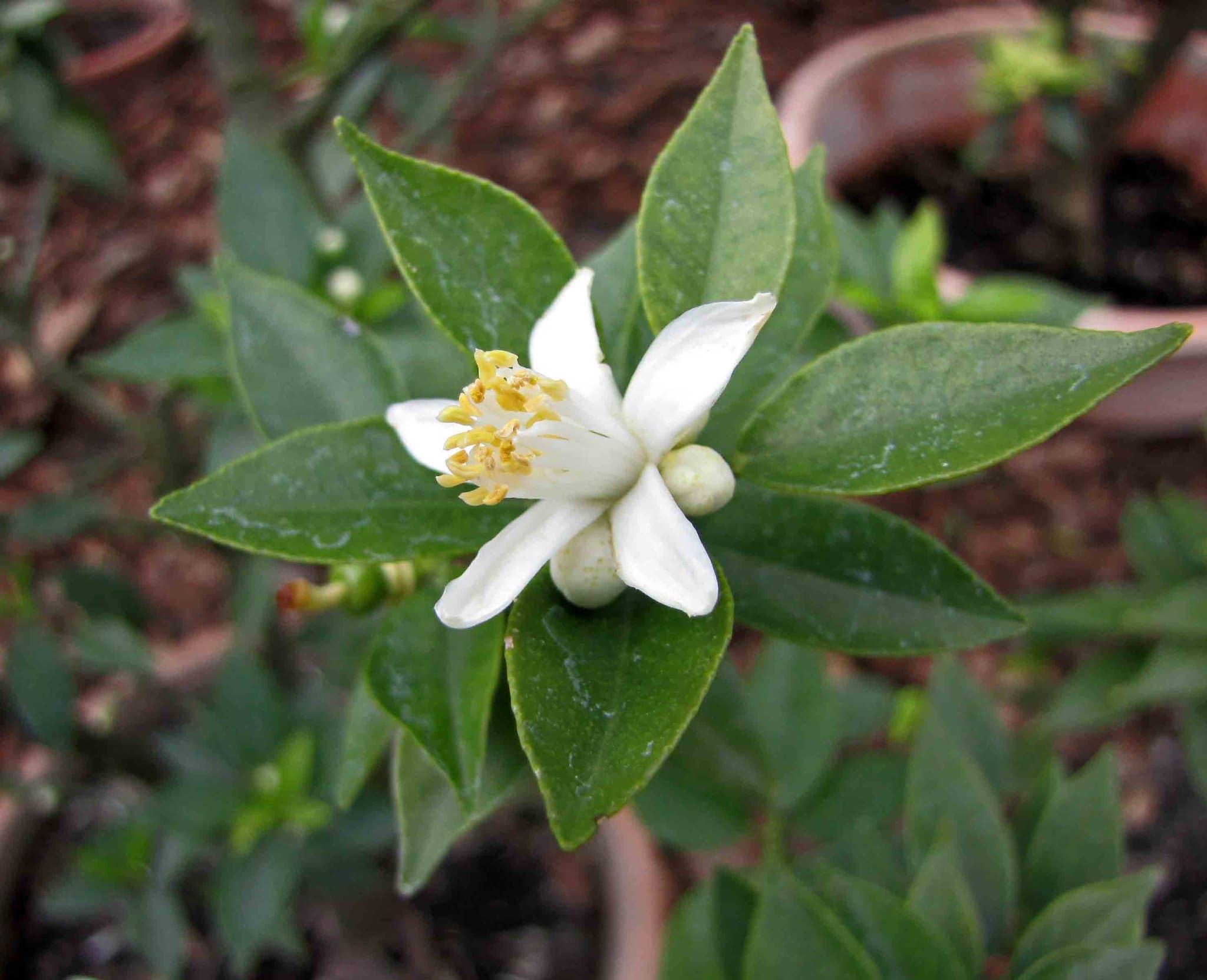 La flor del chinoto es blanca