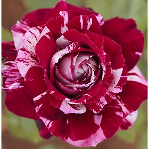 La planta Julio Iglesias es un rosal bicolor