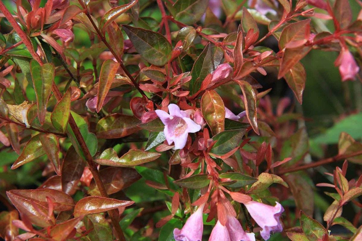 flores de color rosa del arbusto Abelia grandiflora