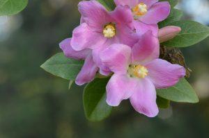 Las flores de la Lagunaria pattersonii son rosadas