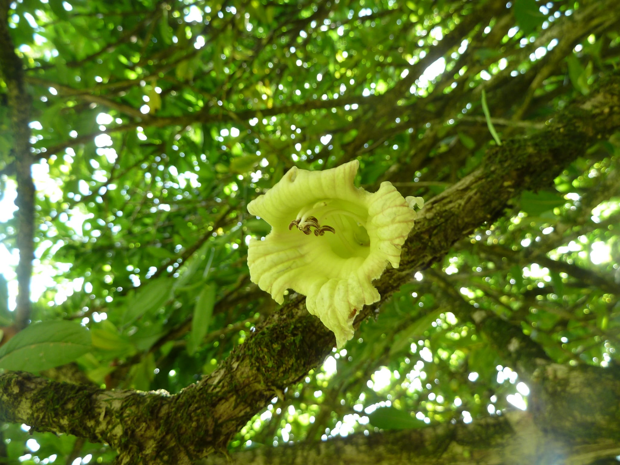 La flor del totumo es amarilla
