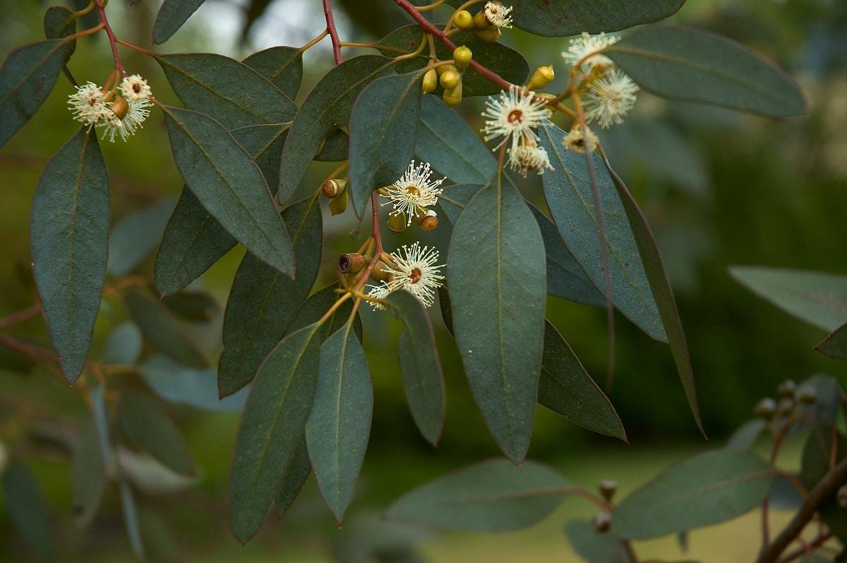 flores y ramas del arbol llamado Eucalyptus gunnii