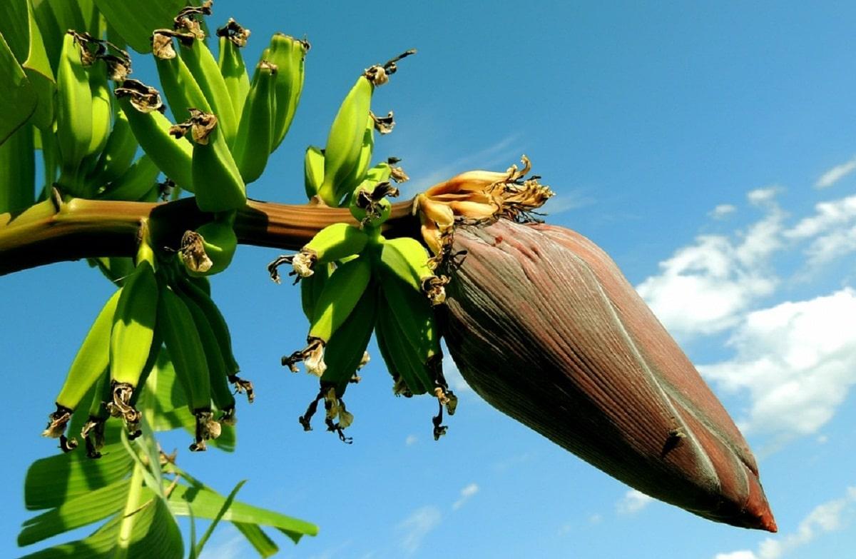 fruto que da el arbol llamado banano o Musa paradisiaca