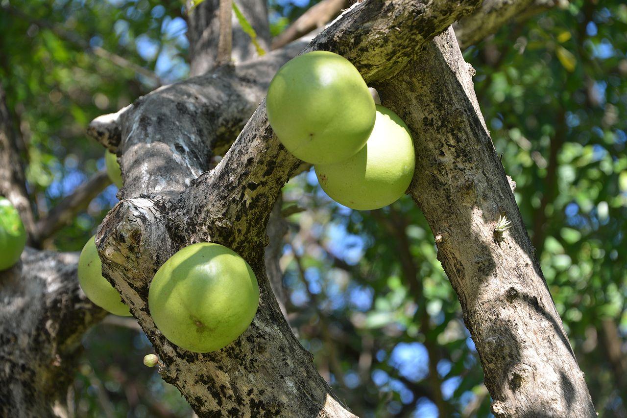 El totumo es un árbol tropical