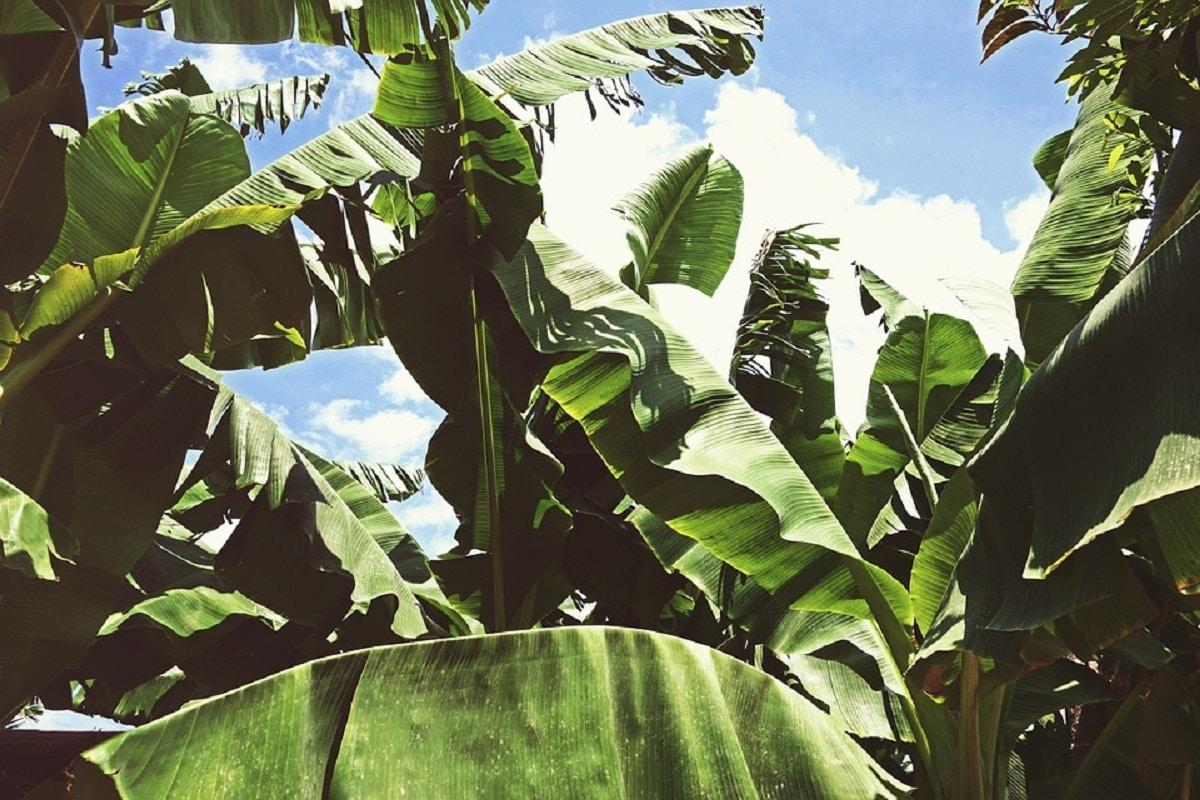 hojas del arbol llamado banano o Musa paradisiaca