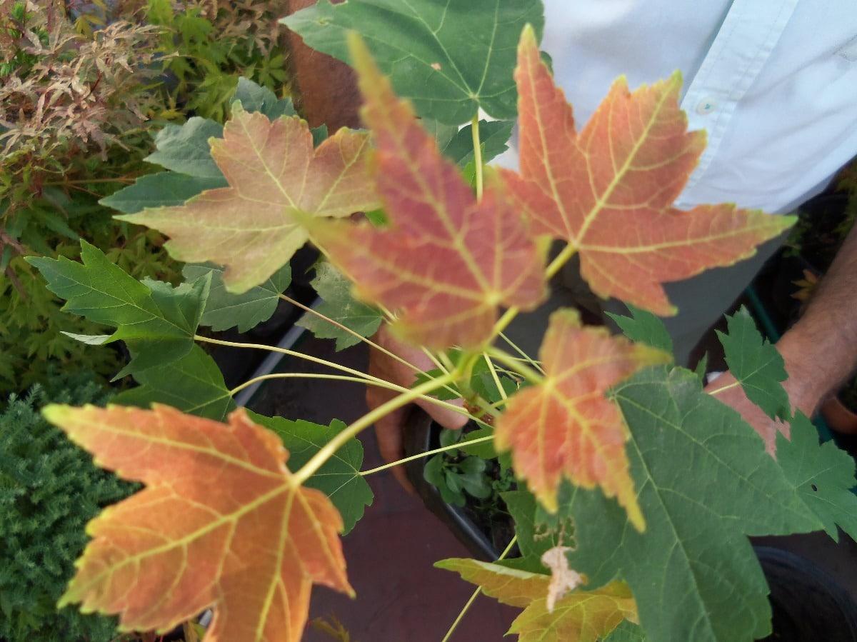 hojas rojas y verdes de un arce