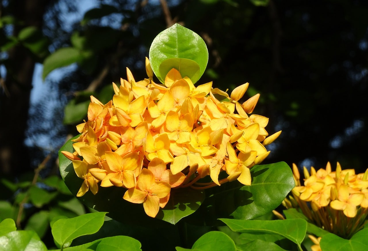 La Ixora es una planta perennifolia