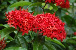 La Ixora casei es un arbusto tropical