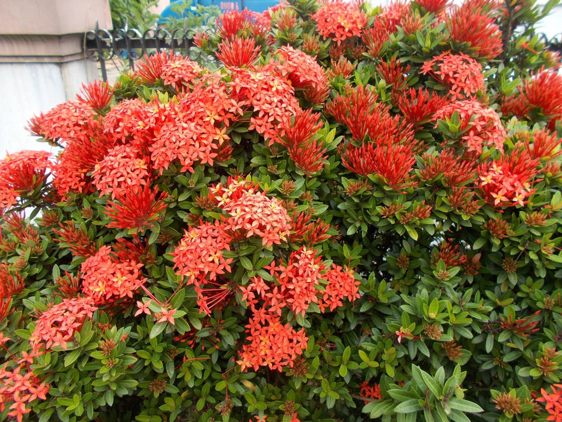 La ixora coccinea es una planta de flores