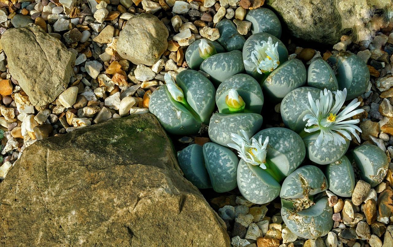 Los Lithops son plantas suculentas del desierto