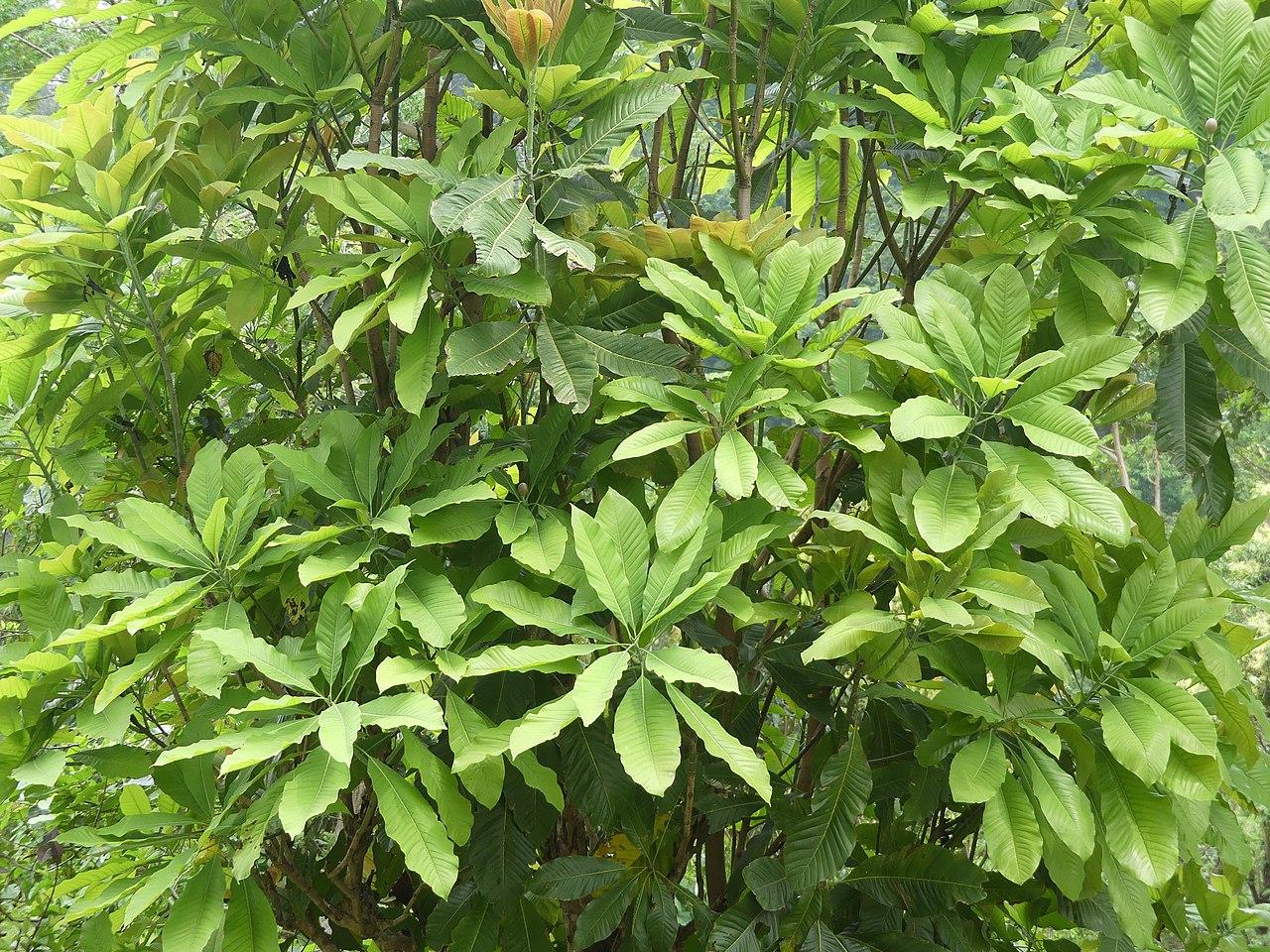 La Magnolia hodgsonii es un árbol pequeño