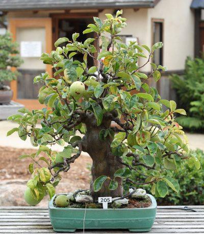 El manzano se trabaja bien como bonsái