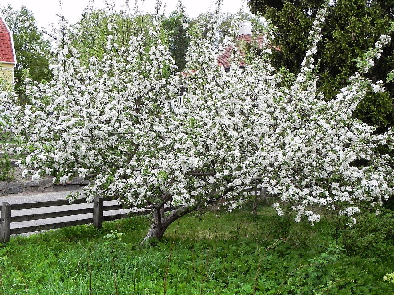 El manzano es un árbol caduco