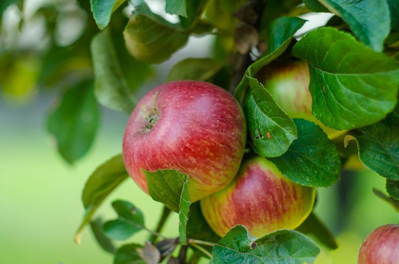 El manzano produce frutos comestibles