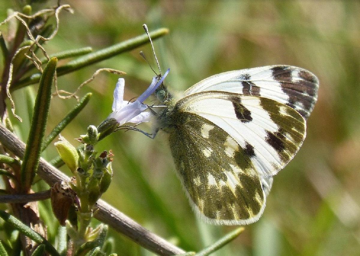 mariposa posada en una rama del romero