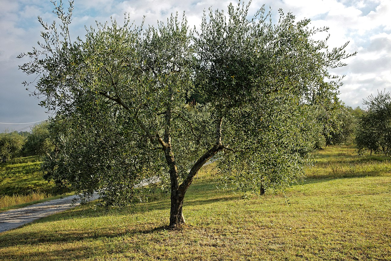 El olivo es un árbol perenne