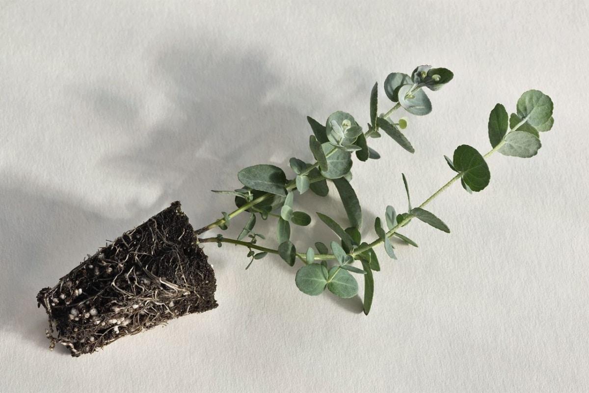 pequeno arbol llamado Eucalyptus gunnii tumbado en el suelo