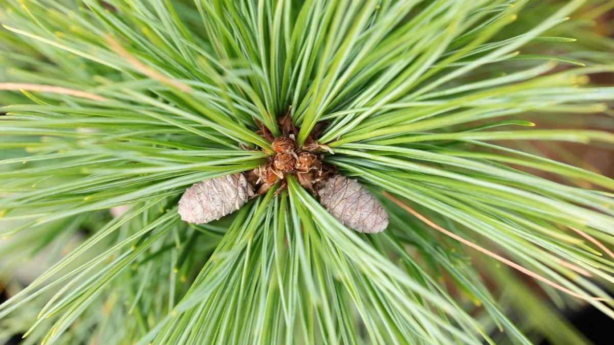 pinones que salen de la rama de un arbol llamado Pinus strobus