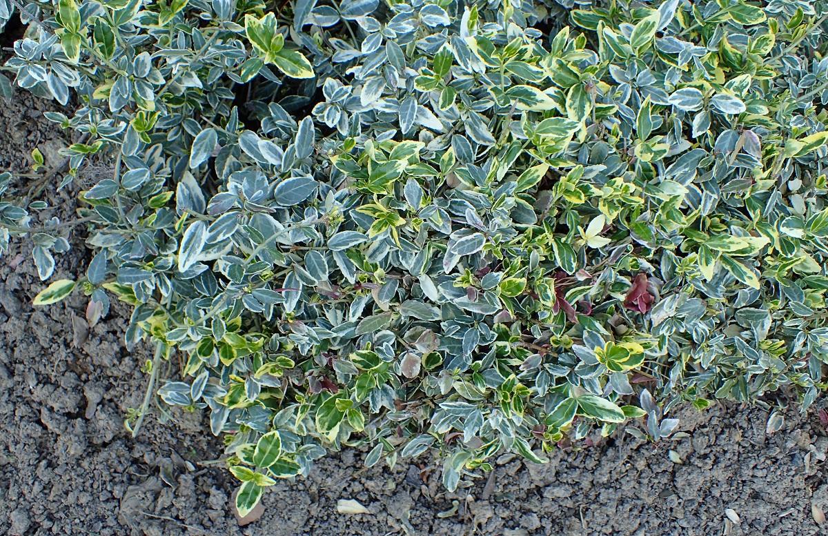 planta con pequenas hojas verdes y amarillentas llamada Euonymus fortunei
