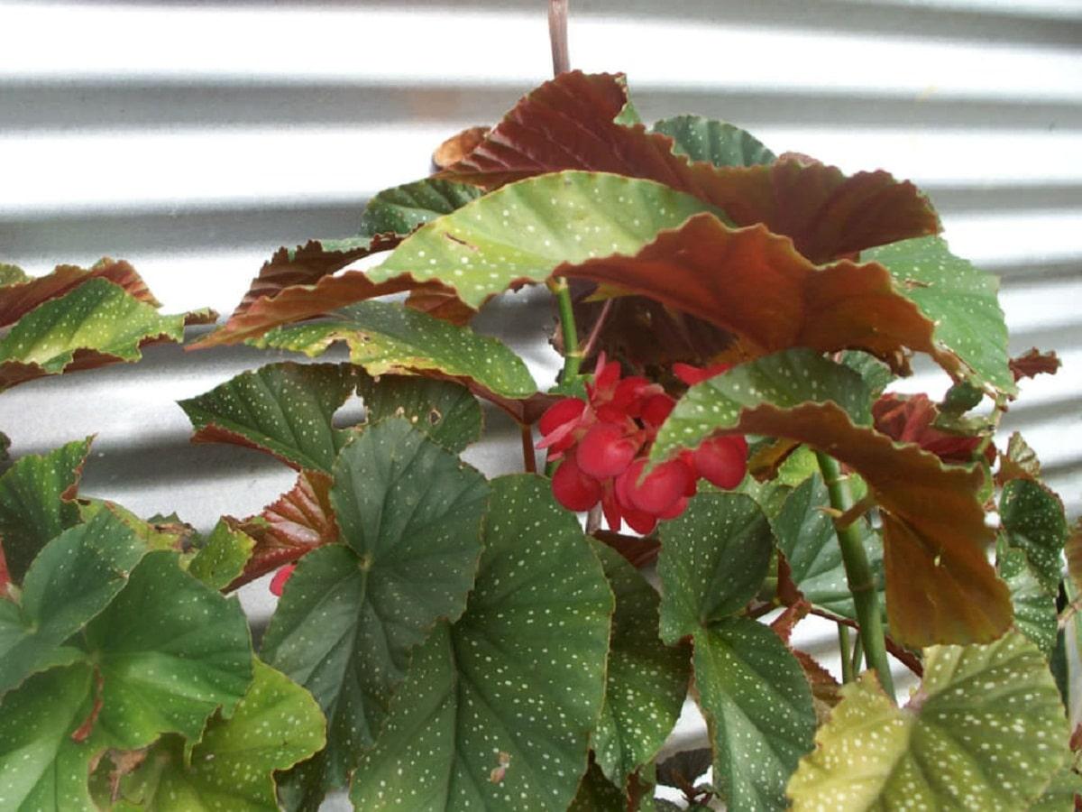 planta en maceta llamada Begonia corallina