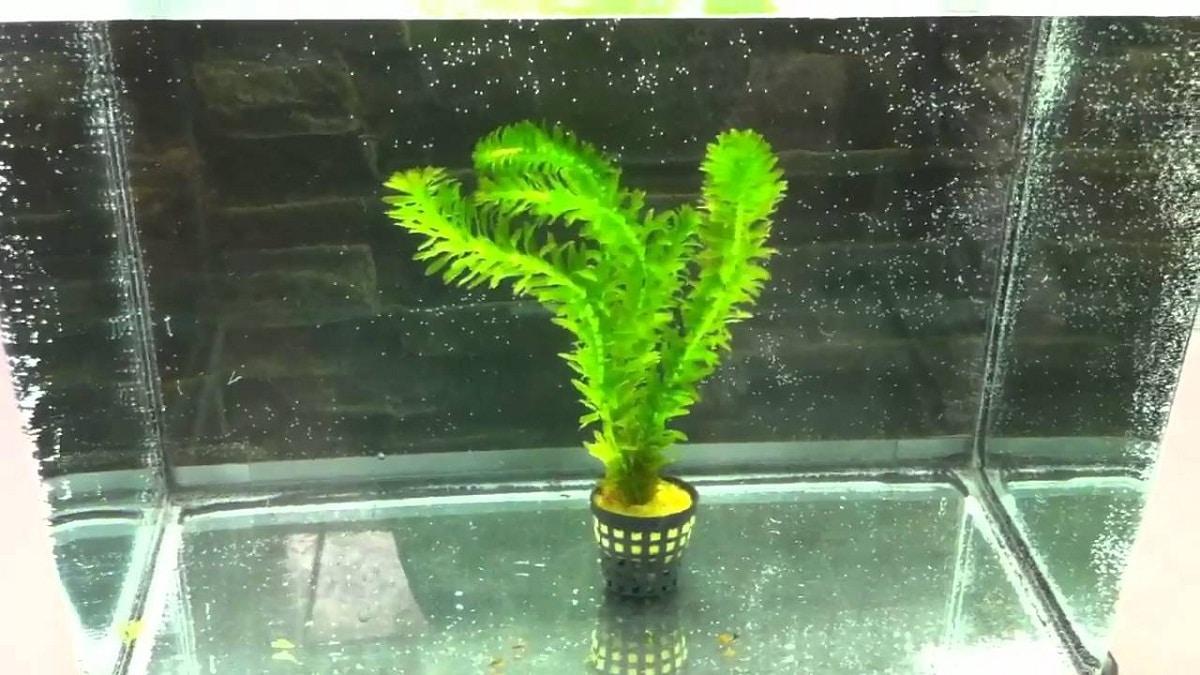 planta llamada Egeria Densa en una pecera