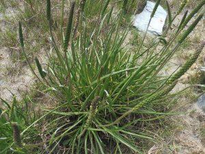 planta silvestre llamada Plantago albicans