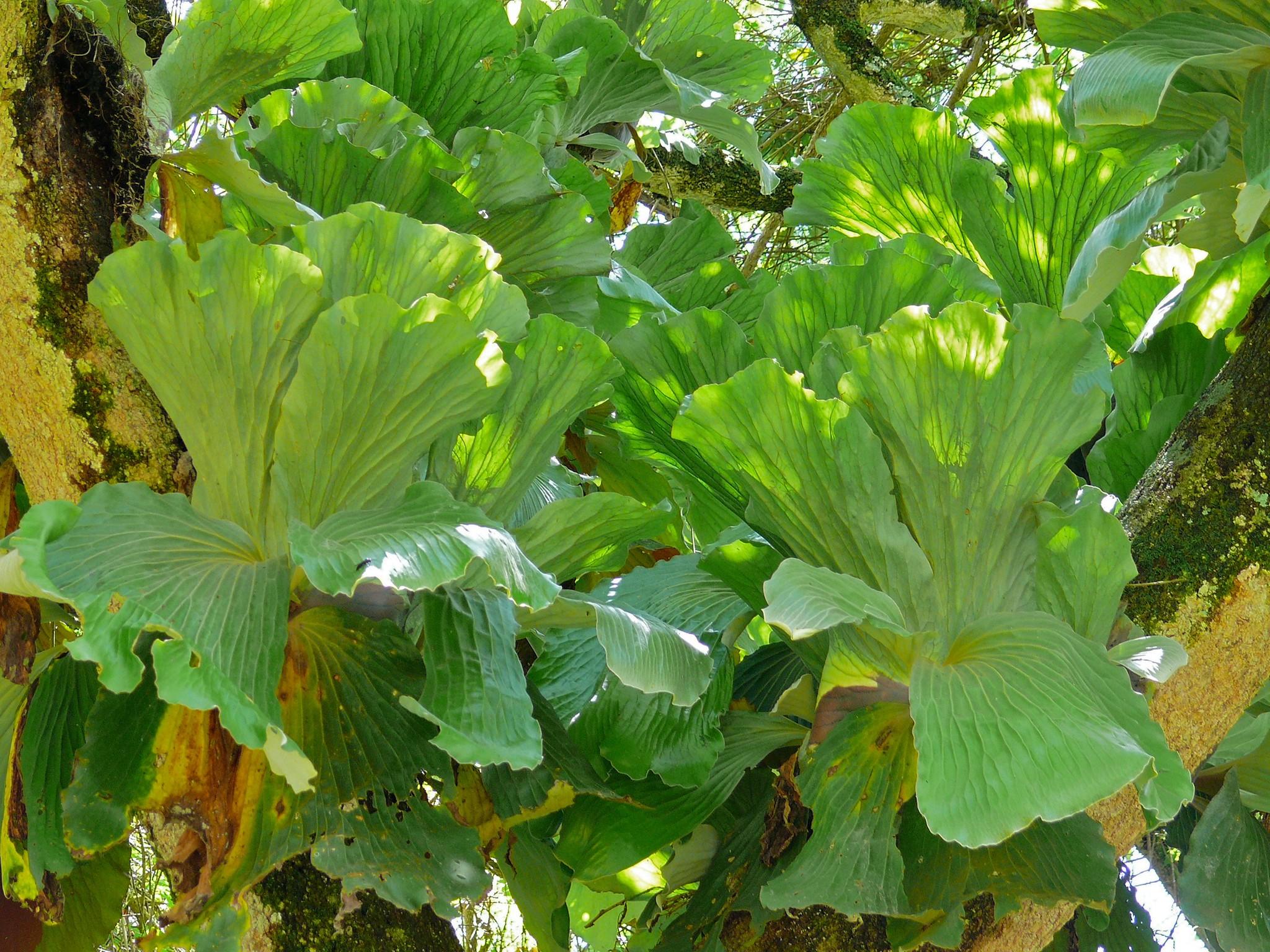 El Platycerium es un helecho tropical