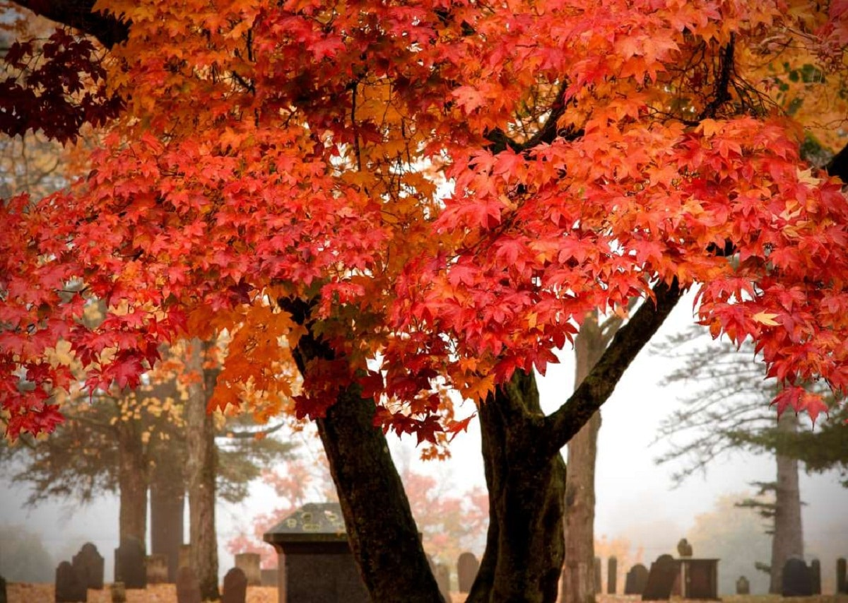 precioso Arce azucarero con hojas en tonalidades rojas