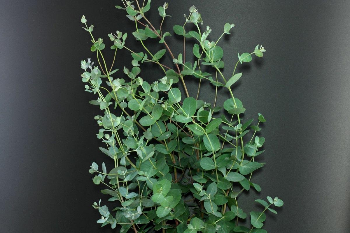 rama decorativa del arbol llamado Eucalyptus gunnii