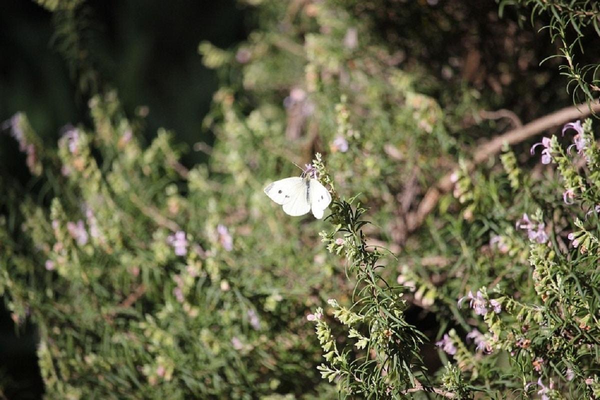 romero en flor con lña visita de mariposa