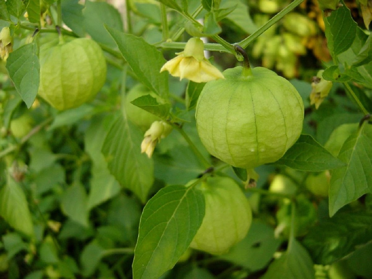 una planta que da una especie de tomates muy diferentes al resto