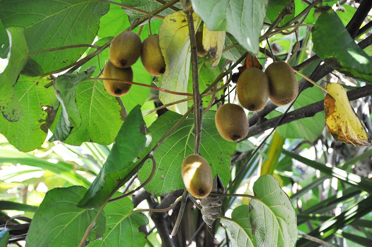 La Actinidia deliciosa es una trepadora que produce frutos comestibles