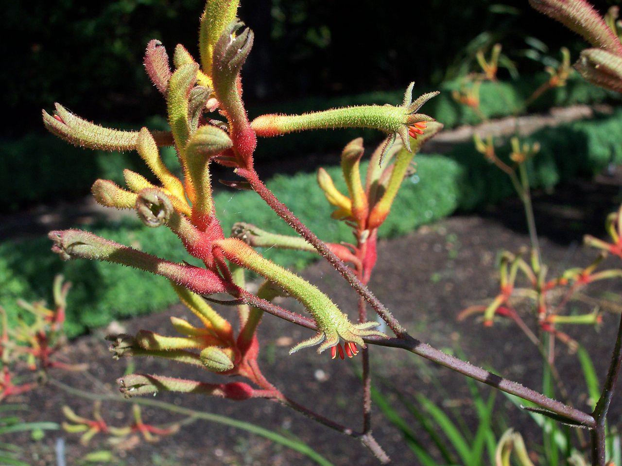 La pata de canguro es una herbácea perenne ideal para terrazas