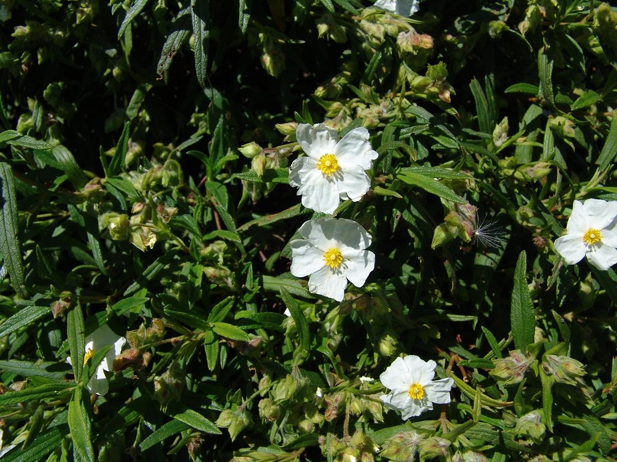 Cistus Monspeliensis tambien llamado jara blanca