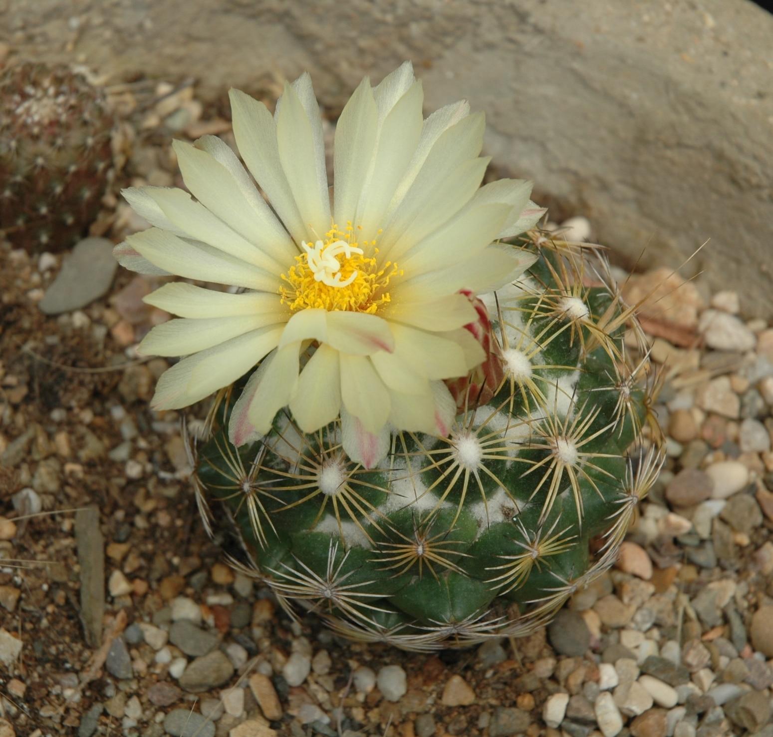 La Coryphantha compacta es un cactus pequeño