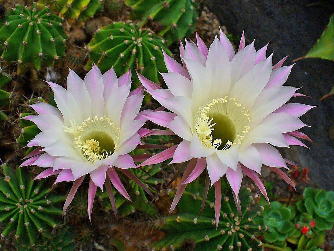 El Echinopsis oxygona es un cactus con espinas