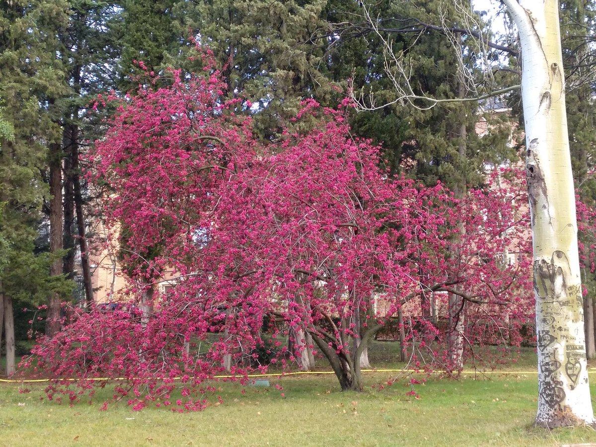 Malus floribunda o manzano japones en flor