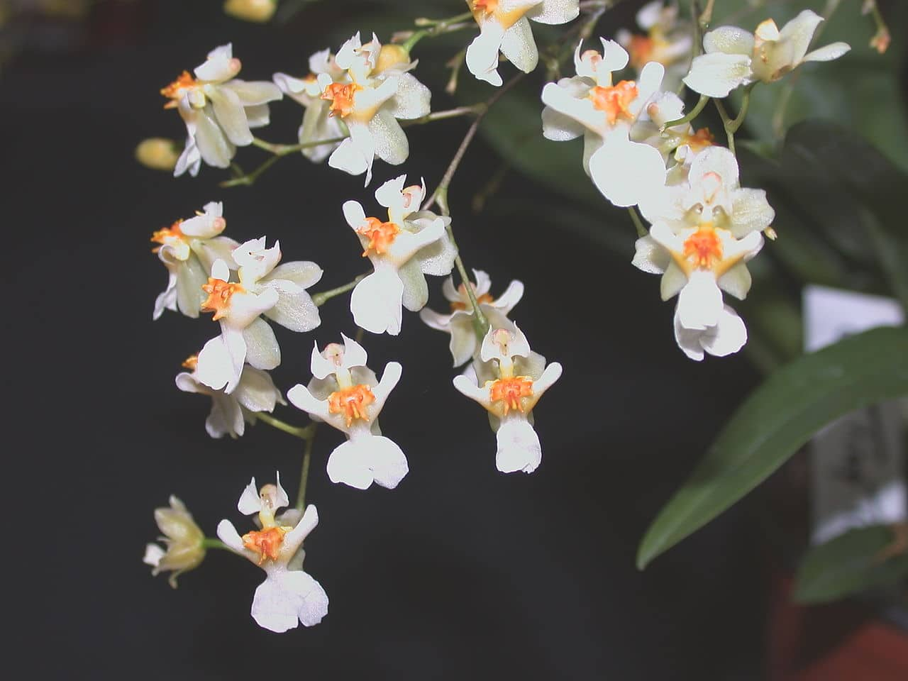 El Oncidium es una planta muy bonita