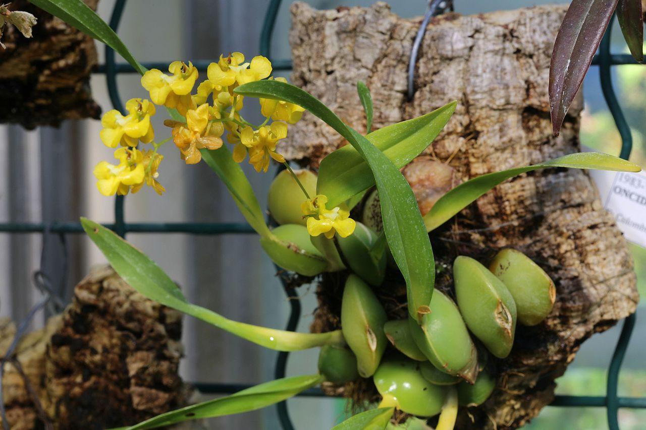 Las Oncidium producen pseudobulbos