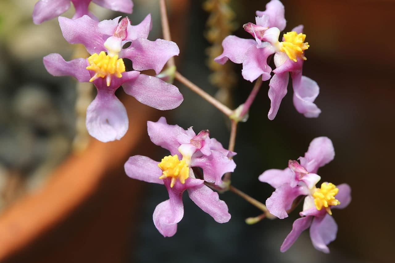 Los Oncidium producen flores pequeñas