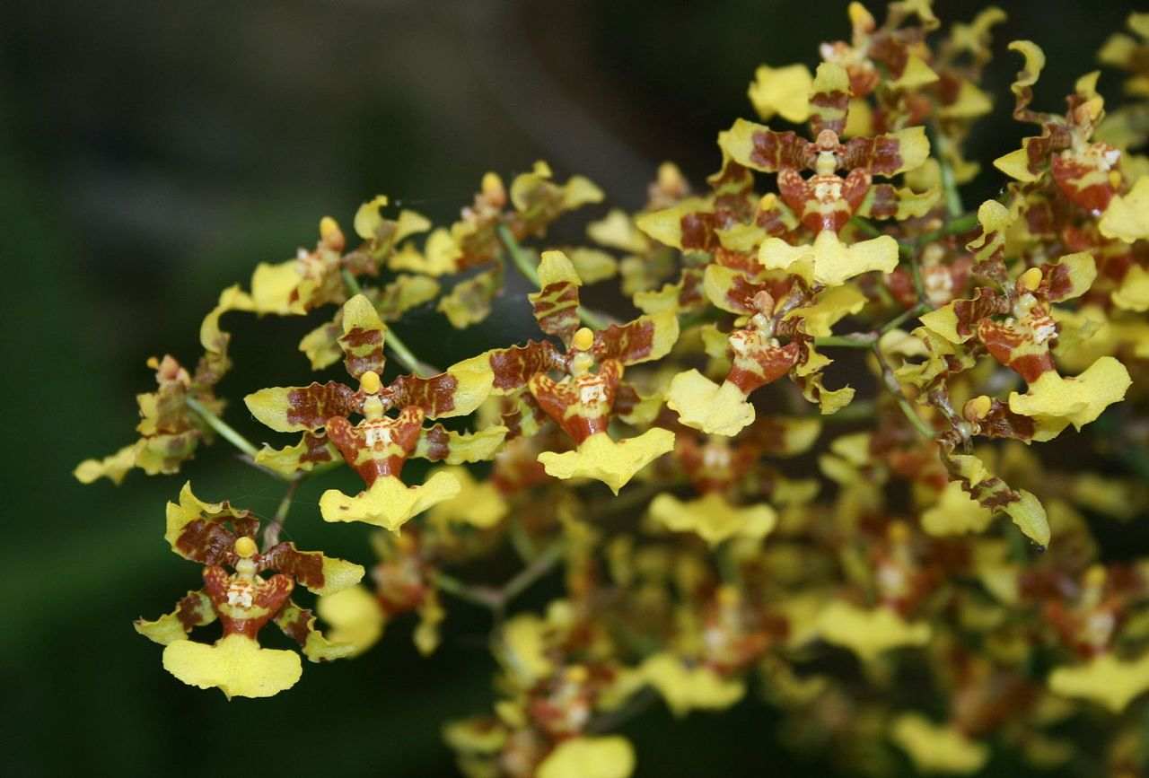 Las orquídeas Oncidium son tropicales