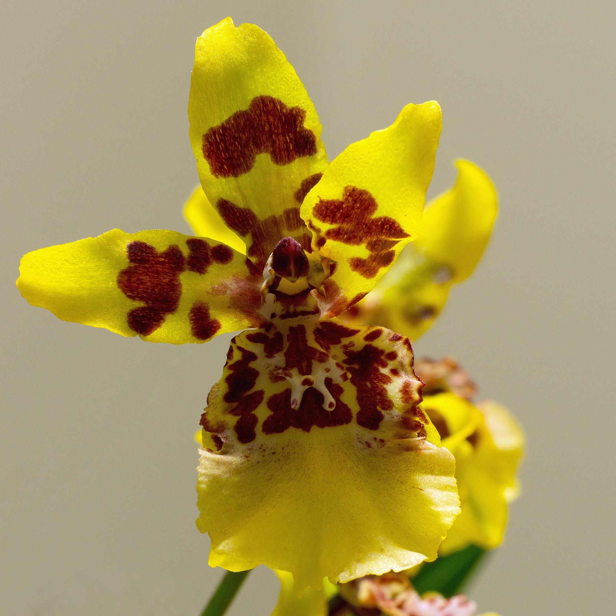 El Oncidium es una orquídea epífita