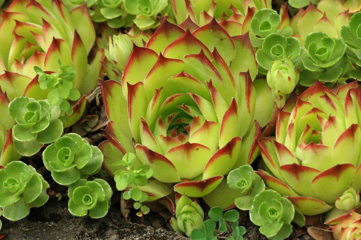 Sempervivum tectorum flores