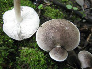 Tricholoma atrosquamosum