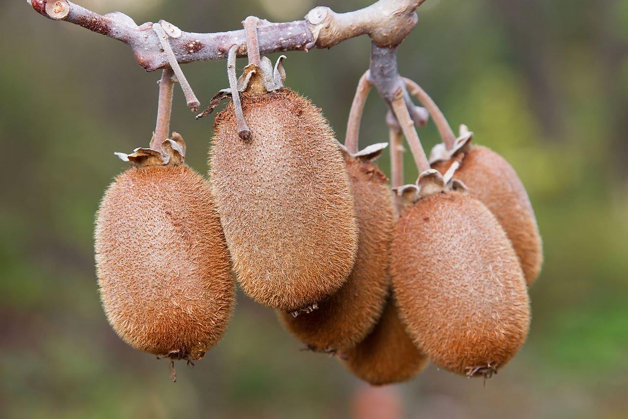 La Actinidia chinensis es una planta trepadora