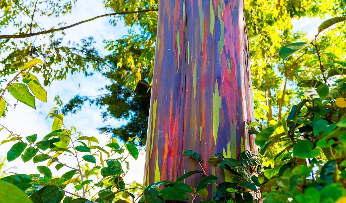arbol con tronco de colores variados llamado eucaliptus arcoíris