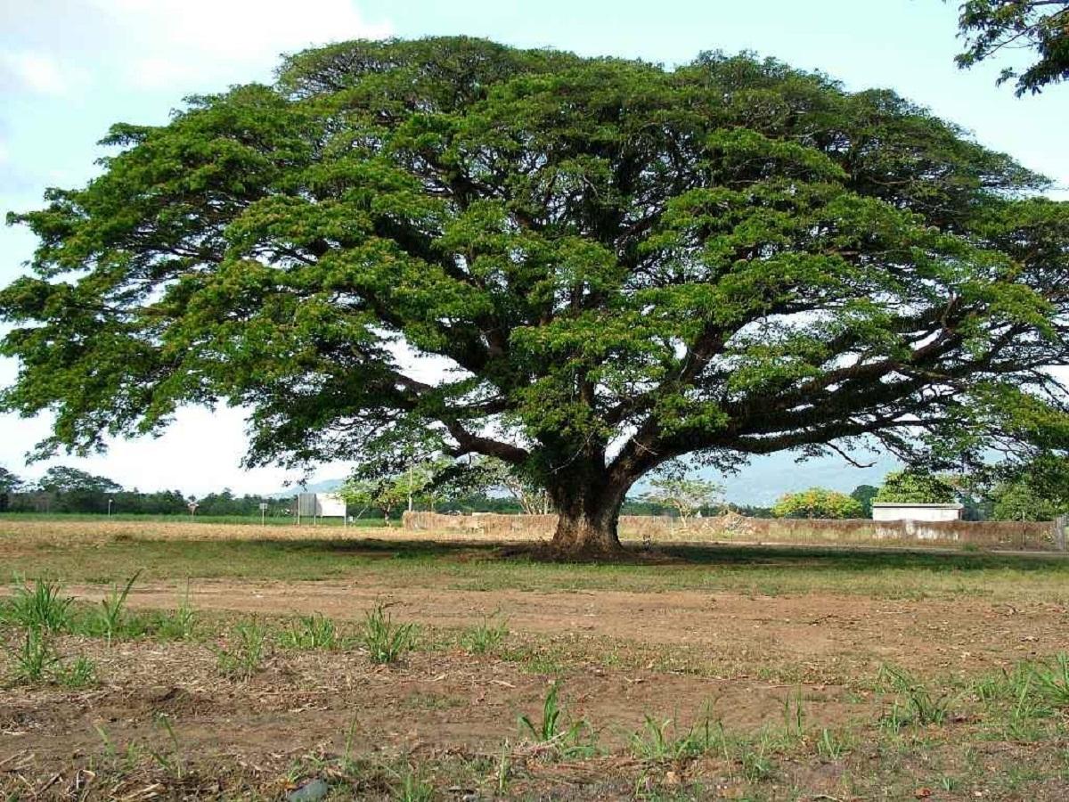 arbol con tronco de pequeno tamano llamado Samanea saman